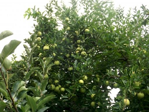 DSCF2041 apple2