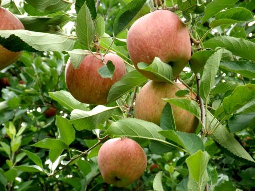 DSCF2053 apple6